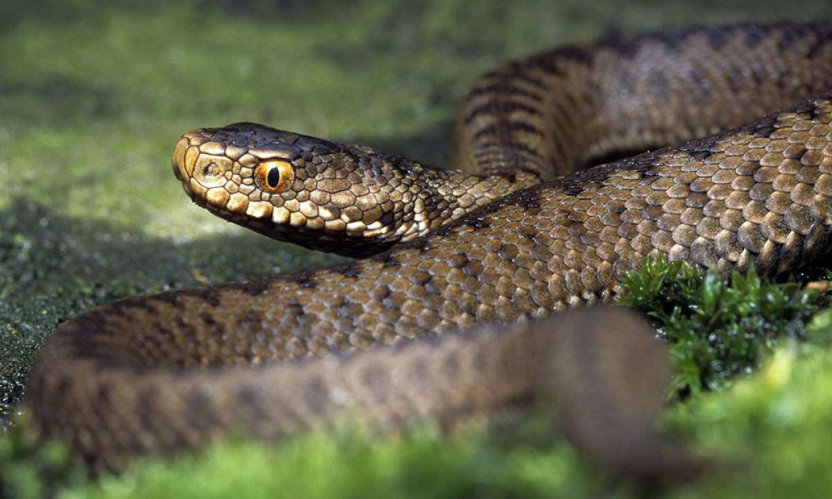красивейший дерновинное змея гадюка фото в украине пляже парашюты