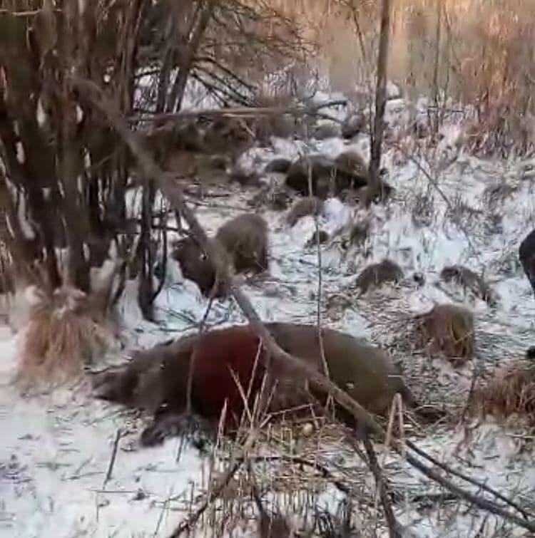 По разным данным, в лесу Танайки нашли от 10 до 12 больных кабанов.