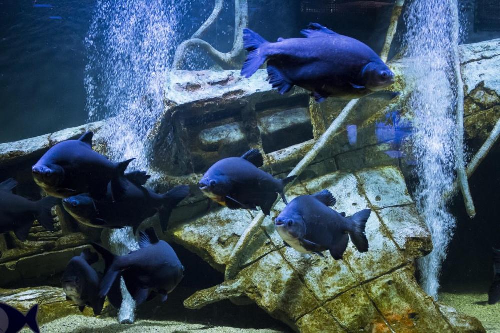 Пираньи Паку - одни из самых крупных в мире, тоже живут в казанском океанариуме. Пока.